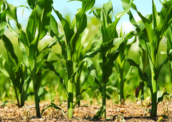 Corn growing in field