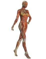 Anatomie und Muskulatur der Frau beim laufen