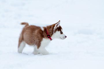 Little husky walking in the deep snow