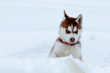 Little husky with blue eyes in the snow