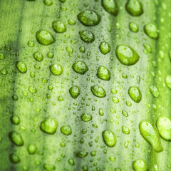 Natural green background texture with leaf and drops of water