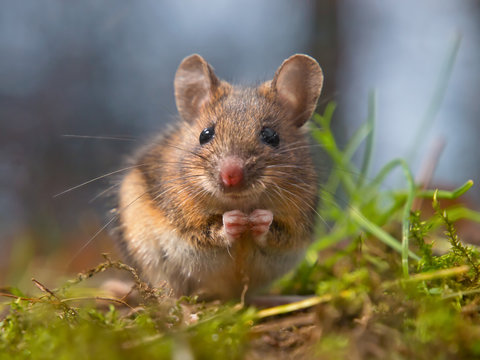 Wild mouse sitting on hind legs