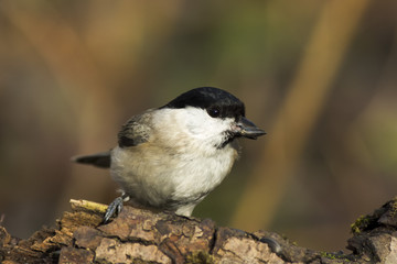 Wall Mural - chickadee bird