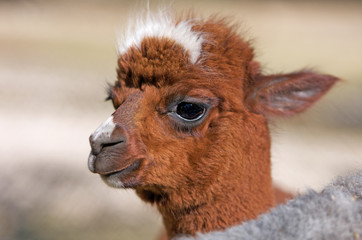 portrait of a baby alpaca