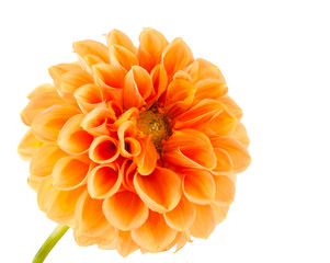 Poster de jardin Dahlia orange dahlia