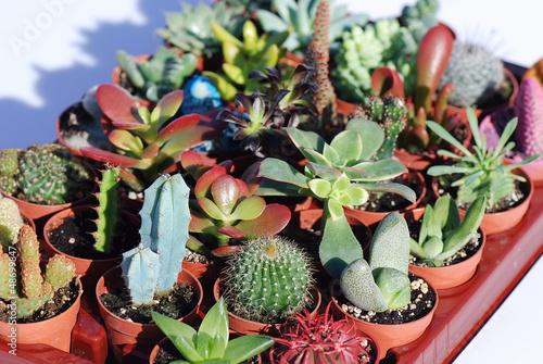 Plantas crasas y cactus varias especies variedades for Cactus variedades fotos
