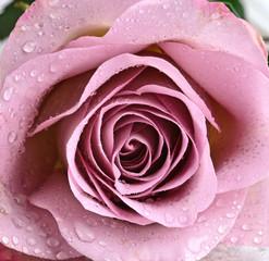 Schöne, violette Rose