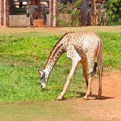 giraffe eat grass