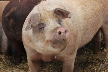 Weideschweine im Winter