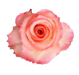 Wall Mural - Beautiful pink rose