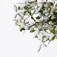 Olive tree in winter