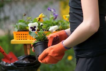 Obraz Planting pansies - fototapety do salonu