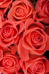Red natural roses close up