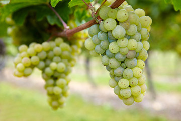 Reife Weinreben im Herbst