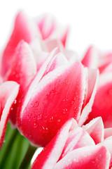 Tulips with water drops on a white background