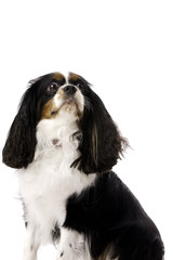 Long Haired King Charles Spaniel Isolated on a White Background