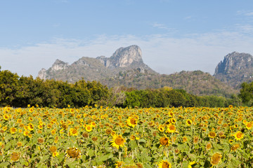 Sunflower field with mountain and blue sky