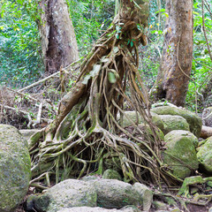 Tropical tree root in the forest