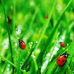Photo sur Aluminium Coccinelles fresh green grass with water drops