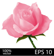 Pink rose realistic illustration
