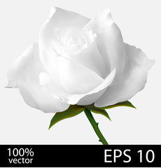 White rose realistic illustration
