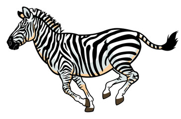 zebra on white