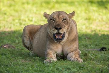 Wall Mural - Pregnant Lioness in the wild, safari Zambia