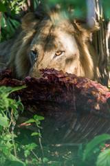 Wall Mural - Lion eating buffalo carcass