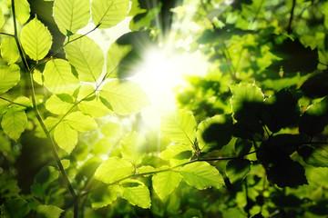 Wall Mural - Blätter im Wald umrahmen die Sonne