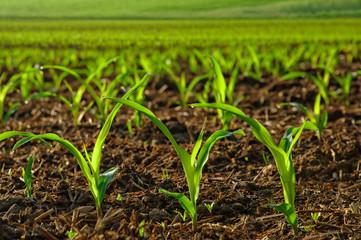 Junge Maispflanzen auf dem Feld Fotoväggar