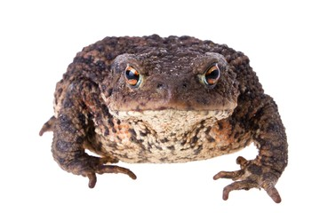 Front view of big fat common european toad isolated on white