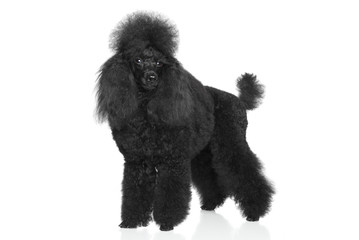 Black Poodle on a white background