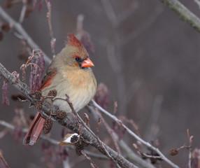 Perched Female Cardinal (Cardinalis cardinalis)