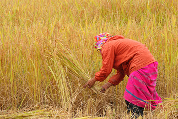 thai woman karen hilltribein the paddy rice field
