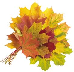 foglie acero gialle