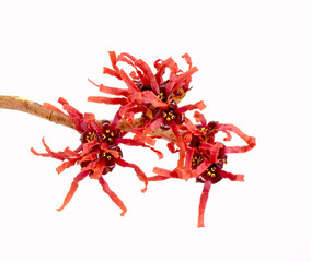Red Hamamelis Flowers close-up