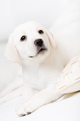 Close up of Labrador puppy lying on the white leather sofa