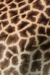 Wall Mural - Giraffe hide pattern in Africa, Zambia