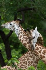 Wall Mural - Giraffes in Africa, Zambia