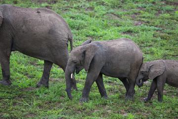 Wall Mural - Elephant in Zambia, Africa safari