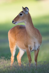 Wall Mural - Southern Reedbuck in Africa