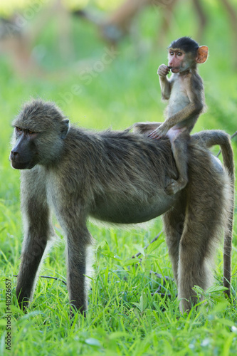 Wall mural Yellow baboon baby riding mother like a cowboy
