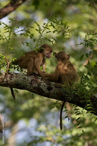Wall mural Vervet Monkeys playing in a tree