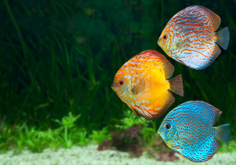 Three bright discus in aquarium