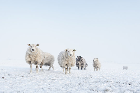 Flock of sheep standing in the snow