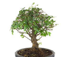 Japanese tree bonsai with many green leaves in a pot isolated