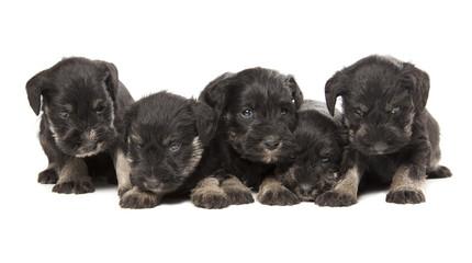 Fototapete - five black puppies of Miniature Schnauzer