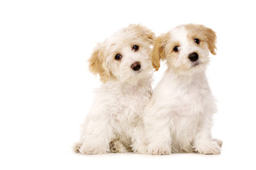 Two puppies sat isolated on a white background