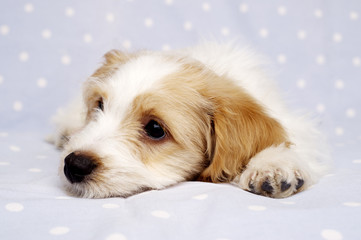 Puppy laid on a blue background