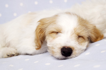 Puppy laid asleep on a blue background